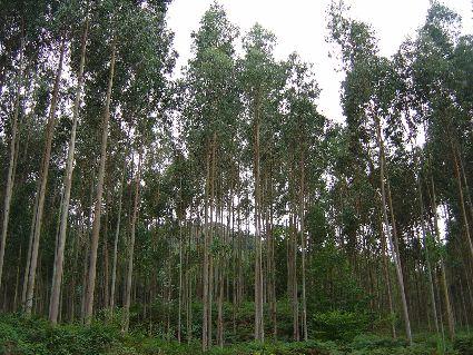 Ficha t cnica n 10 eucalipto - Informacion sobre el eucalipto ...