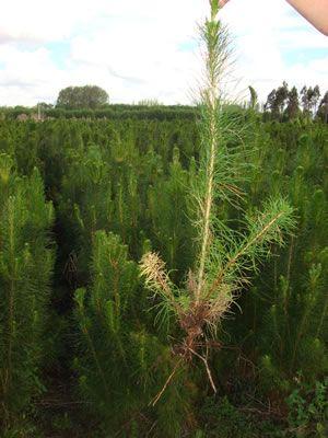 Ficha Técnica No. 13 Pino (Pinus radiata)