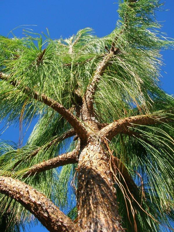 Ficha Técnica No. 14 Pino (Pinus Patula)