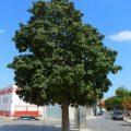 Los árboles mejoran el clima de la ciudad