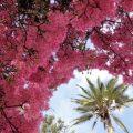 """""""El Arupo"""", árbol ornamental con potencial uso en Ecuador"""