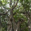 ¿Hasta dónde capturan carbono los árboles?